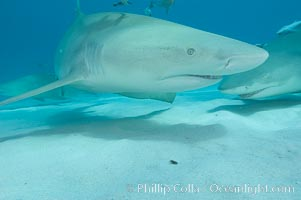 Image 10812, Lemon shark. Bahamas, Negaprion brevirostris, Phillip Colla, all rights reserved worldwide. Keywords: animal, animalia, atlantic, bahamas, brevirostris, carcharhinidae, carcharhiniformes, chondrichthyes, chordata, danger, elasmobranch, elasmobranchii, fear, jaws, lemon shark, negaprion, negaprion brevirostris, ocean, oceans, outdoors, outside, predator, risk, sea, shark, submarine, underwater, vertebrata, wildlife.
