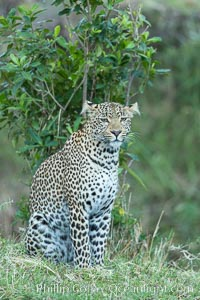 Leopard, Olare Orok Conservancy, Kenya., Panthera pardus, natural history stock photograph, photo id 30031
