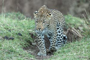 Wildlife and safari photography from the Olare Orok Conservancy, Greater Maasai Mara, Kenya