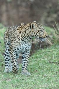 Leopard, Olare Orok Conservancy, Kenya. Olare Orok Conservancy, Kenya, Panthera pardus, natural history stock photograph, photo id 30033