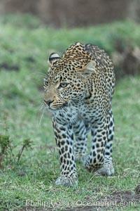 Image 30034, Leopard, Olare Orok Conservancy, Kenya. Olare Orok Conservancy, Kenya, Panthera pardus