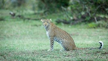 Leopard, Olare Orok Conservancy, Kenya. Olare Orok Conservancy, Kenya, Panthera pardus, natural history stock photograph, photo id 30035