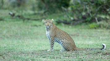 Leopard, Olare Orok Conservancy, Kenya., Panthera pardus, natural history stock photograph, photo id 30036