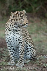 Leopard, Olare Orok Conservancy, Kenya., Panthera pardus, natural history stock photograph, photo id 30042