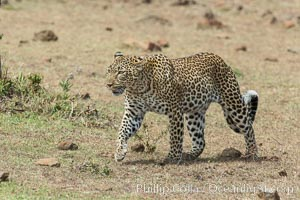 Leopard, Olare Orok Conservancy, Kenya., Panthera pardus, natural history stock photograph, photo id 30057