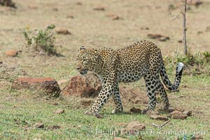 Leopard, Olare Orok Conservancy, Kenya., Panthera pardus, natural history stock photograph, photo id 30058
