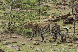Leopard, Olare Orok Conservancy, Kenya., Panthera pardus, natural history stock photograph, photo id 30061
