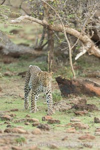 Leopard, Olare Orok Conservancy, Kenya., Panthera pardus, natural history stock photograph, photo id 30076