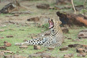 Leopard, Olare Orok Conservancy, Kenya., Panthera pardus, natural history stock photograph, photo id 30079