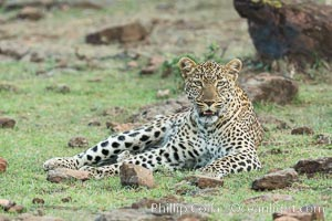Leopard, Olare Orok Conservancy, Kenya., Panthera pardus, natural history stock photograph, photo id 30081