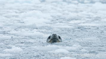 A leopard seal in Antarctica.  The leopard seal is a large predatory seal, up to 1300 lb and 11 ft in length, feeding on krill, squid, fish, various penguin species and other seabirds and occasionally, other pinnipeds, Hydrurga leptonyx, Cierva Cove