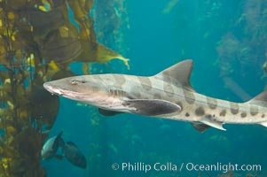 Leopard shark swims through a kelp forest, Triakis semifasciata