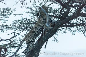 Leopard with kill in tree at night. Olare Orok Conservancy, Kenya, Panthera pardus, natural history stock photograph, photo id 30093
