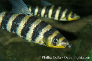 Headstander., Leporinus affinis, natural history stock photograph, photo id 09271