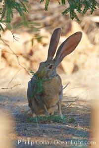 Antelope jackrabbit, Lepus alleni, Amado, Arizona