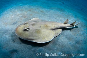 Lesser electric ray, Sea of Cortez, Baja California, Mexico. Sea of Cortez, Baja California, Mexico, Narcine entemedor, natural history stock photograph, photo id 27548
