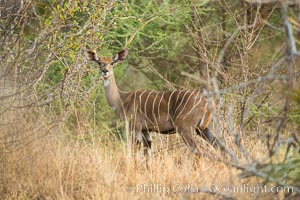 Lesser kudu, Meru National Park, Kenya