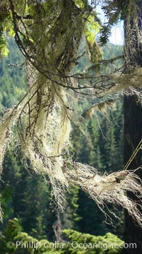 Lichen, a cross between algae and fungi, grows in feathery clumps in a Western hemlock tree