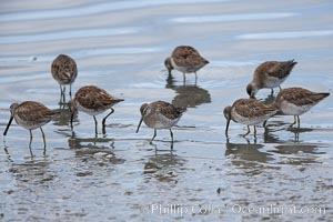 Dowitchers foraging on mud flats. Upper Newport Bay Ecological Reserve, Newport Beach, California, USA, Limnodromus, natural history stock photograph, photo id 15689