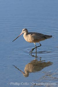 Marbled godwit, foraging on mud flats. Upper Newport Bay Ecological Reserve, Newport Beach, California, USA, Limosa fedoa, natural history stock photograph, photo id 15686
