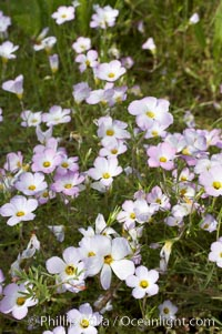 Ground pink blooms in spring, Batiquitos Lagoon, Carlsbad. Batiquitos Lagoon, Carlsbad, California, USA, Linanthus dianthiflorus, natural history stock photograph, photo id 11506