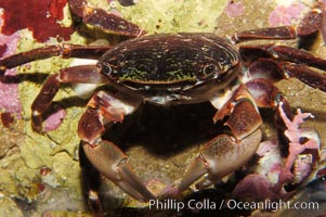 Lined shore crab, Pachygrapus crassipes