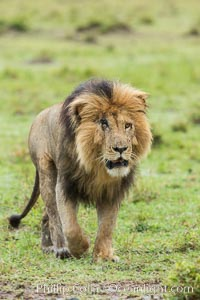 Lion, adult male, Maasai Mara National Reserve, Kenya. Maasai Mara National Reserve, Kenya, Panthera leo, natural history stock photograph, photo id 29785