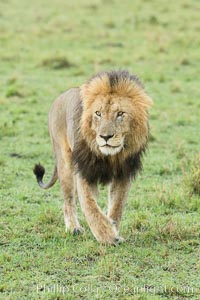 Lion, adult male, Maasai Mara National Reserve, Kenya. Maasai Mara National Reserve, Kenya, Panthera leo, natural history stock photograph, photo id 29863