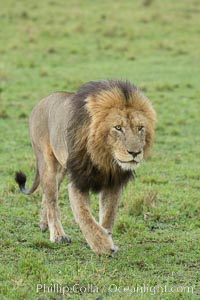 Lion, adult male, Maasai Mara National Reserve, Kenya. Maasai Mara National Reserve, Kenya, Panthera leo, natural history stock photograph, photo id 29864