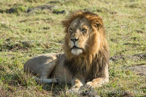 Lion, adult male, Maasai Mara National Reserve, Kenya. Maasai Mara National Reserve, Kenya, Panthera leo, natural history stock photograph, photo id 29893
