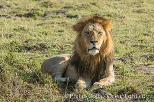 Lion, adult male, Maasai Mara National Reserve, Kenya, Panthera leo