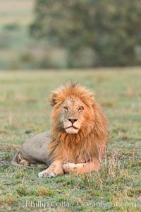 Lion, adult male, Olare Orok Conservancy, Kenya., Panthera leo, natural history stock photograph, photo id 29988