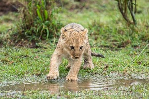 Lion cub, two weeks old, Maasai Mara National Reserve, Kenya, Panthera leo
