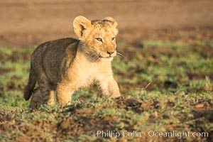 Lion cub, Maasai Mara National Reserve, Kenya. Maasai Mara National Reserve, Kenya, Panthera leo, natural history stock photograph, photo id 29921