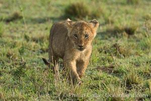Lion cub, Maasai Mara National Reserve, Kenya. Maasai Mara National Reserve, Kenya, Panthera leo, natural history stock photograph, photo id 29947