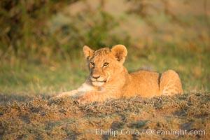 Lion cub, Olare Orok Conservancy, Kenya, Panthera leo