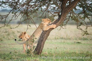 Lion cub scratching on tree, Olare Orok Conservancy, Kenya, Panthera leo