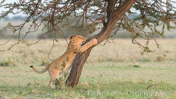 Lion cub scratching on tree, Olare Orok Conservancy, Kenya. Olare Orok Conservancy, Kenya, Panthera leo, natural history stock photograph, photo id 30106