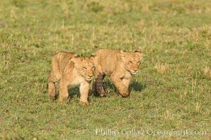 Lion cubs, Maasai Mara National Reserve, Kenya, Panthera leo
