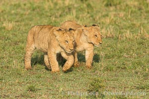 Lion cubs, Maasai Mara National Reserve, Kenya. Maasai Mara National Reserve, Kenya, Panthera leo, natural history stock photograph, photo id 29944