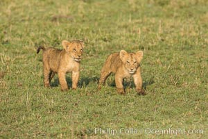 Lion cubs, Maasai Mara National Reserve, Kenya. Maasai Mara National Reserve, Kenya, Panthera leo, natural history stock photograph, photo id 29945