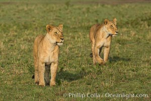 Lion cubs, Maasai Mara National Reserve, Kenya. Maasai Mara National Reserve, Kenya, Panthera leo, natural history stock photograph, photo id 29946