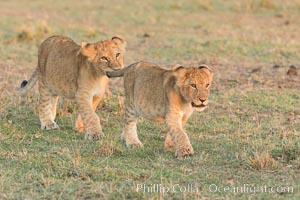 Lion cubs, Olare Orok Conservancy, Kenya. Olare Orok Conservancy, Kenya, Panthera leo, natural history stock photograph, photo id 30114