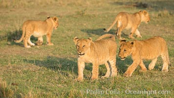 Lion cubs, Olare Orok Conservancy, Kenya. Olare Orok Conservancy, Kenya, Panthera leo, natural history stock photograph, photo id 30124