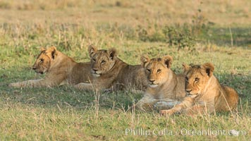 Lion cubs, Olare Orok Conservancy, Kenya. Olare Orok Conservancy, Kenya, Panthera leo, natural history stock photograph, photo id 30129