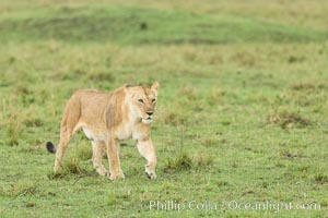 Lion female, Maasai Mara National Reserve, Kenya. Maasai Mara National Reserve, Kenya, Panthera leo, natural history stock photograph, photo id 29859