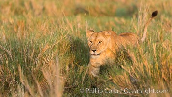 Lion female, Maasai Mara National Reserve, Kenya. Maasai Mara National Reserve, Kenya, Panthera leo, natural history stock photograph, photo id 29917