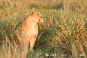 Lion female, Maasai Mara National Reserve, Kenya. Maasai Mara National Reserve, Kenya, Panthera leo, natural history stock photograph, photo id 29918