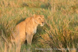 Lion female, Maasai Mara National Reserve, Kenya, Panthera leo