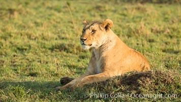 Lion, Maasai Mara National Reserve, Kenya, Panthera leo